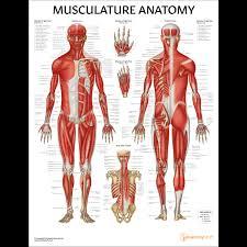 Wonderful Musculature Anatomy Chart Poster Laminated Expert