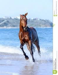 beautiful horses running in water. Perfect Water Download Horse In The Water Stock Image Image Of Landscape Animal   30812479 With Beautiful Horses Running In Water T