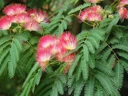 albizia silk trees – information on how to grow a silk tree