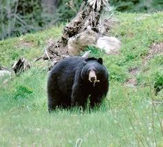 Black Bear Washington Department Of Fish Wildlife