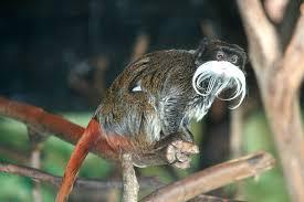 cute amazon rainforest animals. Emperor Tamarin PhotoMiaZinkova On Cute Amazon Rainforest Animals