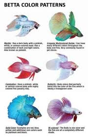 Betta Genetics Chart 48 Best Breeding Betta Fish Images Betta Fish Betta Fish