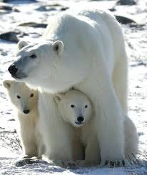 were shooting polar bears skinny bear facts black skin have and transpa fur