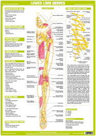 Nerve Chart Leg Lower Limb Nervous System Chart Shows Anatomy Of Major
