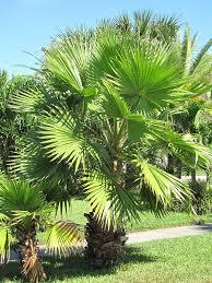 fan palm. venice beach fan palm tree washingtonia robusta #pa-w-robu i