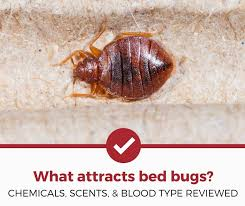What Attracts Bed Bugs Popular Myths Debunked Pest Strategies