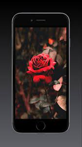 Rose Wallpaper HD, GIF for Android ...