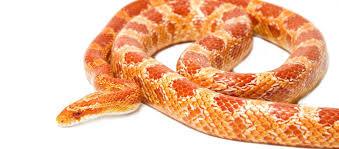 Albino Corn Snake Care Guide And Info Petsoid