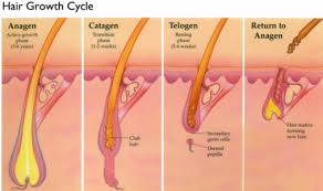 ses of the hair growth cycle my