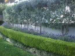 Planting for privacy: pleached olive trees, underplanted with lavender &  boxwood.