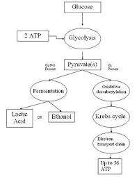 Cell Energy Flow Chart Photosynthesis And Cellular Respiration Answer Key Cellular Respiration Simple English Wikipedia The Free