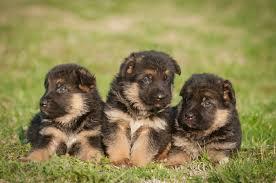9 Best Dog Foods For A German Shepherd Puppy Gsd Feeding Guide