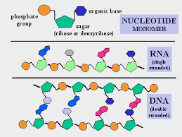 Functions Of Nucleic Acids Pin On Macromolecules