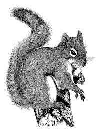 tree squirrels living with wildlife washington department of fish wildlife