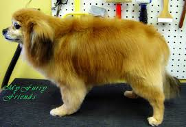 black pomeranian teddy bear cut. Fine Bear This Is What He Looked Like After His Scissor Cut The Cut Was An Outline  Trim Where All Of The Feathering And Flyaway Hair Trimmed To Give Dog A  On Black Pomeranian Teddy Bear Cut L