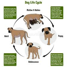 Dog Breed Exercise Chart Dog Life Cycle Diagram Stock Vector Illustration Of Ecology