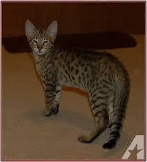 stunning golden f3 savannah kitten