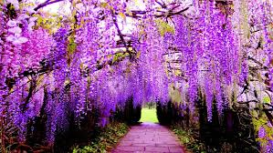flower wall paper download hanging flower wisteria purple flowers wallpaper for pc tablet and