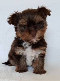 toy yorkshire terrier only one boy left picture