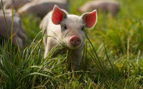 Free download Baby Pigs Wallpapers ...