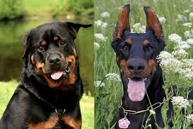 Rottweiler Size And Weight Chart Doberman Vs Rottweiler Comparison Of Germanys Best Dogs