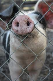<b>Funny Pig</b> With Snout Through Fence | <b>Funny pigs</b>, Baby pigs, Pig