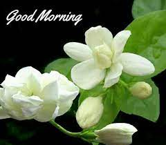 Good Morning....Have a good and Blessed day! | Jasmine flower, Flower  seeds, White arabian jasmine