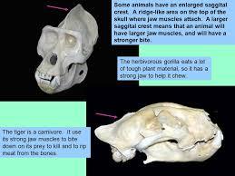 Small Animal Skull Identification Chart Mammal Teeth And Skulls Adaptations And Identification