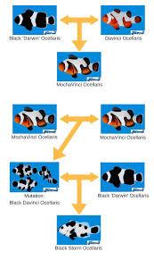 Lineage Of The Black Storm Marine Fish Saltwater Aquarium