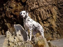 dalmatian dog wide top wallpapers free dog hd images cute pets 1600 1200 wallpaper hd