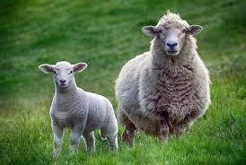 Bluetounge Virus Bluetongue Virus Detected In Four Imported Sheep
