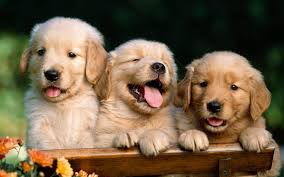 dogs wallpapers backgrounds. Exellent Dogs Cute Puppies Photo Dog Wallpapers Backgrounds Intended Dogs L