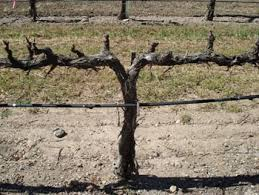 Spur Pruning Grapes