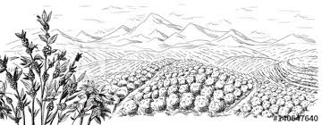 coffee plantation illustration.  Coffee Coffee Plantation Landscape In Graphic Style Handdrawn Vector Illustration To Coffee Plantation Illustration Adobe Stock