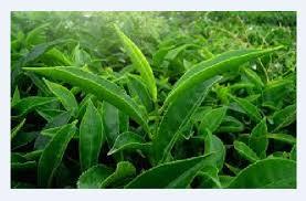 fresh tea leaves. Interesting Fresh Fresh Tea Leaves In O