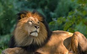 live jungle animals. Perfect Live Long Live The King  Lion Animal Jungle Regal Throughout Jungle Animals I