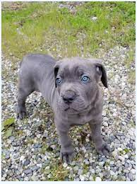 Crazy cane corso blue: Lessons From The Pros | Dog Breed
