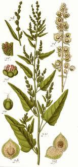 Atriplex hortensis Orach, Garden orache PFAF Plant Database