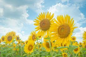 夏空と向日葵無料の写真素材はフリー素材のぱくたそ