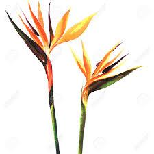 Αποτέλεσμα εικόνας για paradise flower