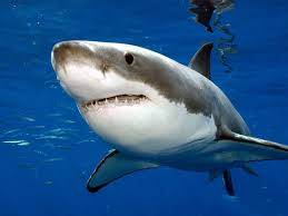 great white sharks constantine alexander s journal  great white shark