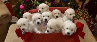 white golden retriever puppies for sale. Interesting Puppies White Golden Retriever Puppies With For Sale