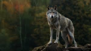 wolf wallpaper hd. Interesting Wolf Wolf Wallpaper Throughout Wallpaper Hd P