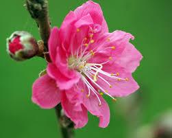 Bài thuốc làm đẹp từ hoa xuân - Tạp chí Đẹp