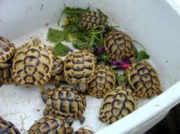 Indian Star Tortoise Diet Chart Tortoise Trust Web Feeding Your Tortoise