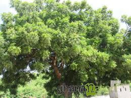 neem tree essay essay writing topics speech topic short stories english proverbs city nature bachchan dev ram s neem