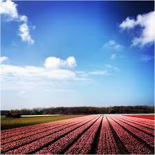 tulips tulpen insram