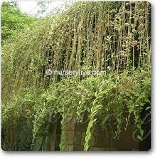Wall Climbing Plants India