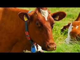 lines on cow for kids paragraph on cow lines on cow essay  10 lines on cow for kids paragraph on cow 5 lines on cow essay on cow a domestic animal paragrap