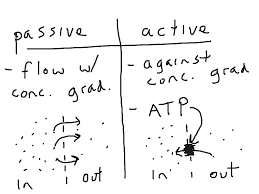 Active Vs Passive Transport Venn Diagram Showme Active And Passive Transport At The Kidneys